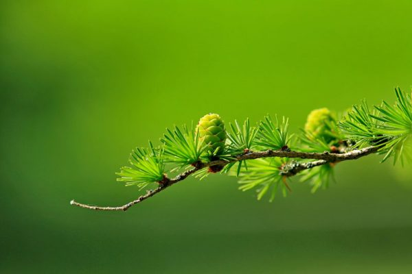branch-conifer-green-40896